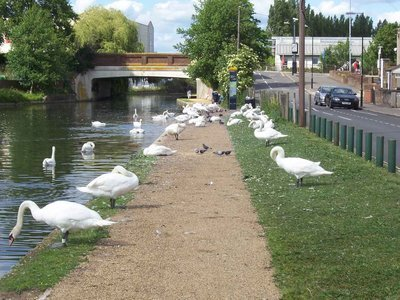 Beware the Swans. foot bridge to cross over further along, not here.JPG