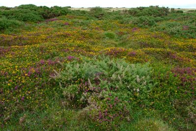 Castlemartin summer heath-2.jpg